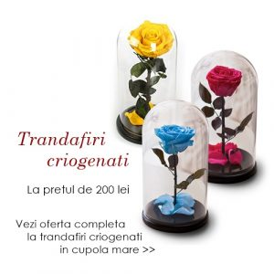 trandafiri criogenati in cupola